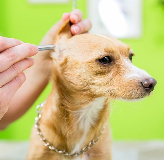 WoofBeach palms dog ear cleaning geneva, il